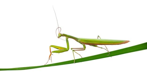 Female european mantis or praying mantis mantis religiosa on blade of grass isolated