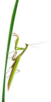 Female european mantis or praying mantis mantis religiosa isolated