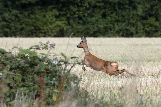 小麦畑を駆け抜ける雌のヨーロッパノロジカ(capreolus capreolus)