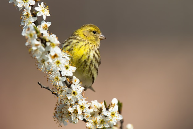 Female european serin sitting on a cherry twig in blossom in springtime