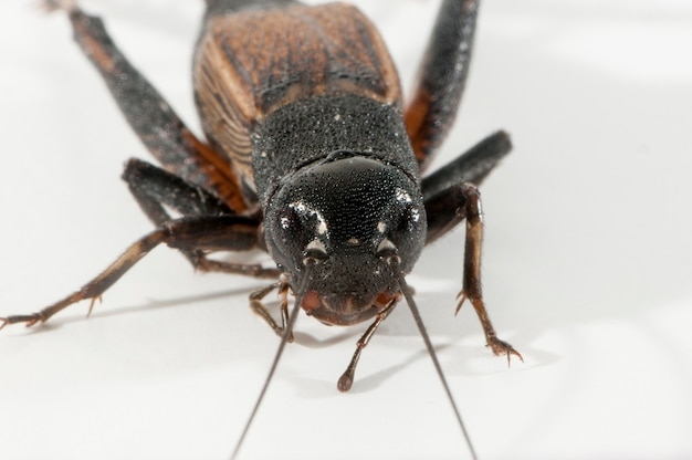 Female fall field cricket, gryllus pennsylvanicus on a white background. close up front view.