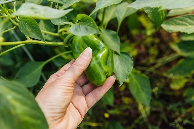 정원에서 녹색 신선한 익은 유기농 피망을 수확하는 여성 농장 노동자 손