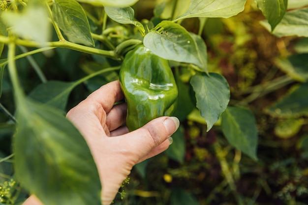 庭で緑の新鮮な熟した有機ピーマンを手で収穫する女性の農場労働者