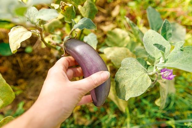 庭で紫色の新鮮な熟した有機ナスを手で収穫する女性の農場労働者