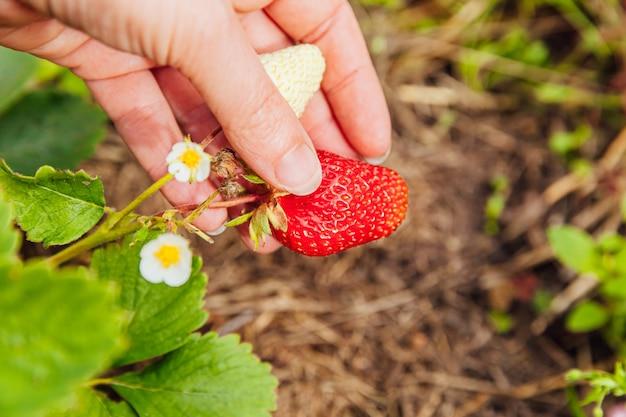 정원에서 빨간색 신선한 익은 유기농 딸기를 수확하는 여성 농장 노동자 손