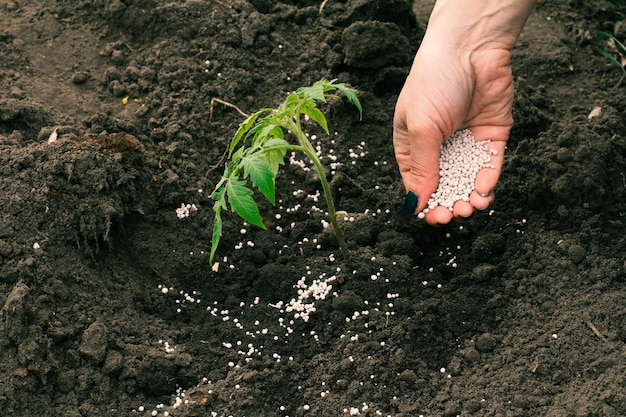 Фермерка вносит химические удобрения в молодые помидоры, растущие в саду