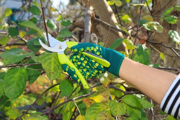 여성 농부는 정원을 돌봅니다. 과일 나무 가지 치기. pruner와 녹색 장갑에 여자가 나무의 끝을 가위.