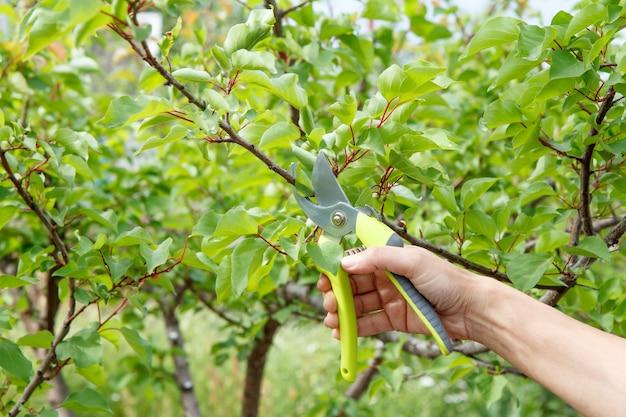 여성 농부는 정원을 돌봅니다. 과일 나무의 봄 가지 치기. 살구 나무의 끝을 가위로 깎는 여자