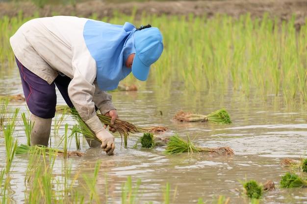 青い帽子をかぶって田んぼに田植えをする農家の女性。灰色の長袖のシャツを着てゴム手袋をした人が働いている。