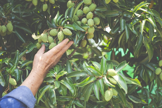 Female farmers check lychee in the garden.