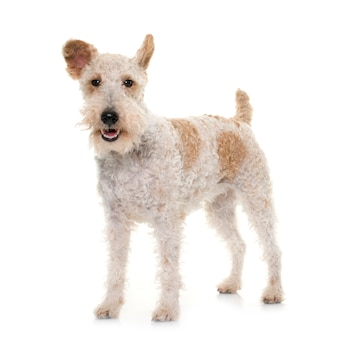 Female fox terrier