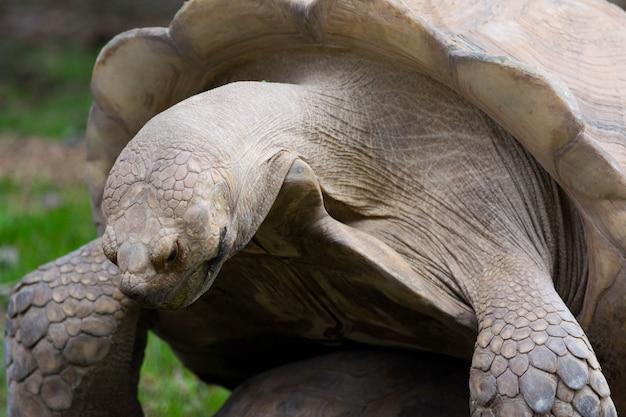 Female galapagos tortoise turtle portrait