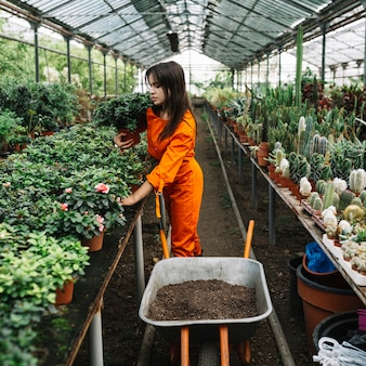 Female gardener arranging potted plants in greenhouse