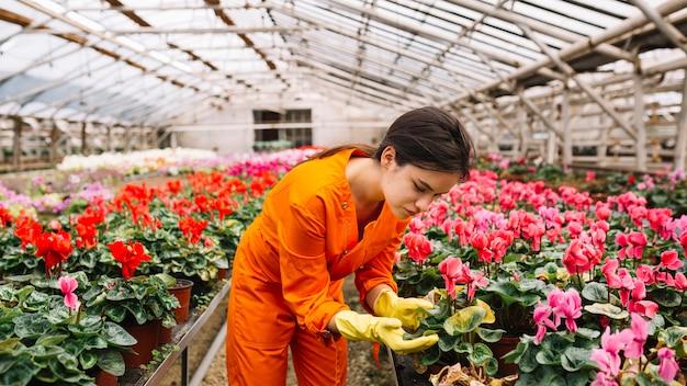 Female gardener examining pink cyclamen flower in greenhouse