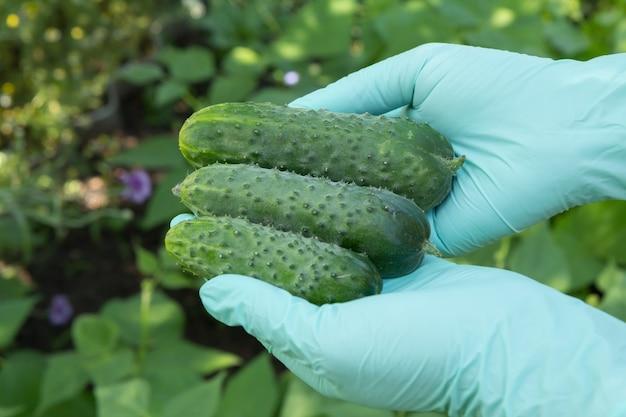 Female gardener in green latex gloves is holding fresh ripe cucumbers. summer harvesting of vegetables in the garden.