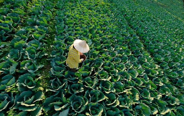 농장에서 양배추 야채 식물에 화학 비료를주는 여성 정원사 손