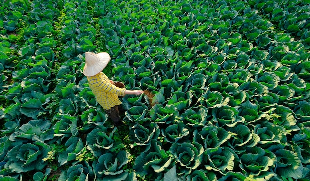 Женщина-садовник дает химические удобрения для овощных растений капусты на плантации