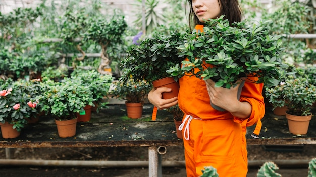 Female gardener holding potted plants in greenhouse