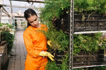 Female gardener in workwear examining plants at greenhouse