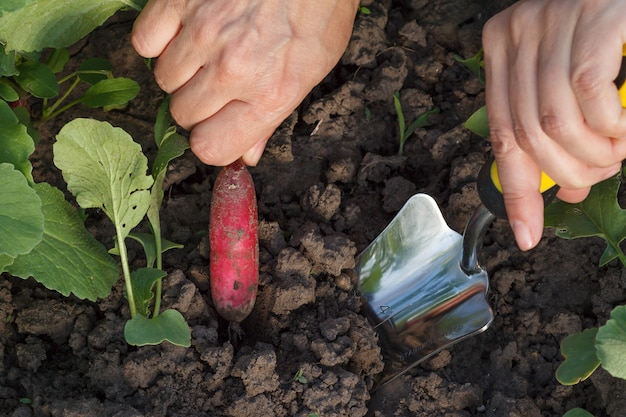 Female gardener is digging out ripe red radish in the garden using small hand trowel. close up view
