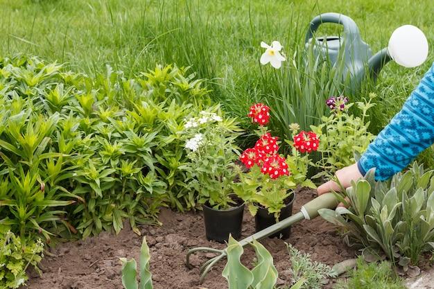 여성 정원사는 작은 갈퀴를 사용하여 정원 침대에 빨간색과 흰색 마편초 꽃을 심고 있습니다.
