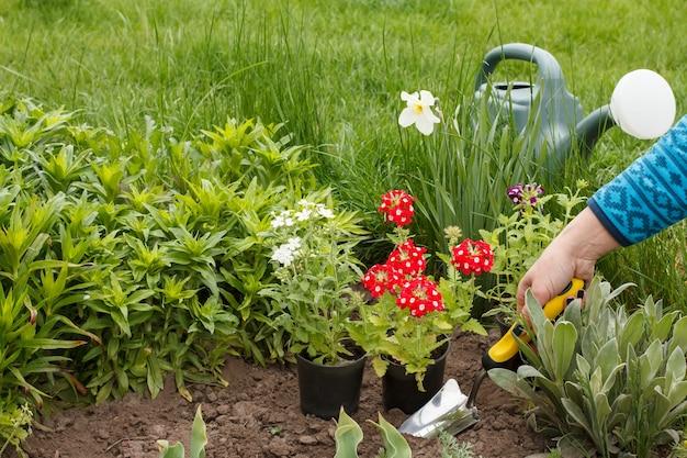 여성 정원사는 흙손을 사용하여 정원 침대에 빨간 버베나 꽃을 심고 있습니다.