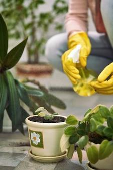 移植後に国内植物の葉を噴霧する女性庭師。植物の世話をする女性