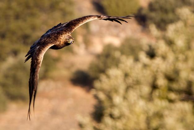 Female of golden eagle flying. aquila chrysaetos