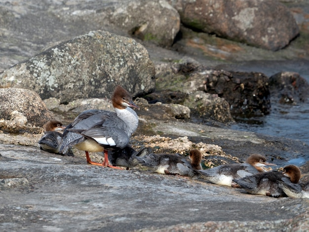 晴れた夏の日に、若いひよこを持つメスのグーサンダー(mergus merganser)が川沿いの岩の上で暖まります
