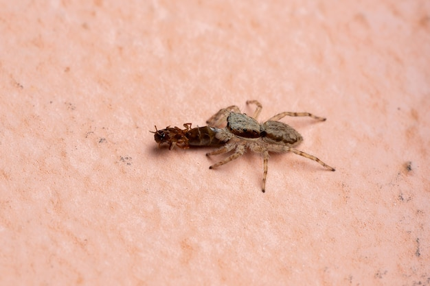 Female gray wall jumping spider of the species menemerus bivittatus preying on an ant