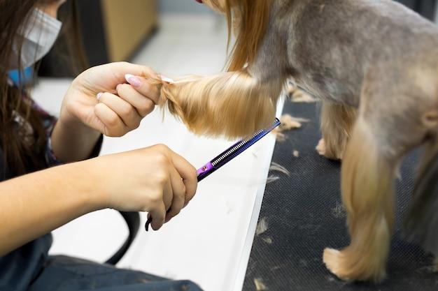 Стрижка женской грумер йоркширского терьера на столе для груминга в салоне красоты для собак