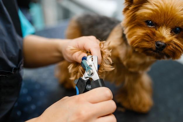 バリカンを持った女性グルーマーがかわいい犬の爪を切る、グルーミングサロン。