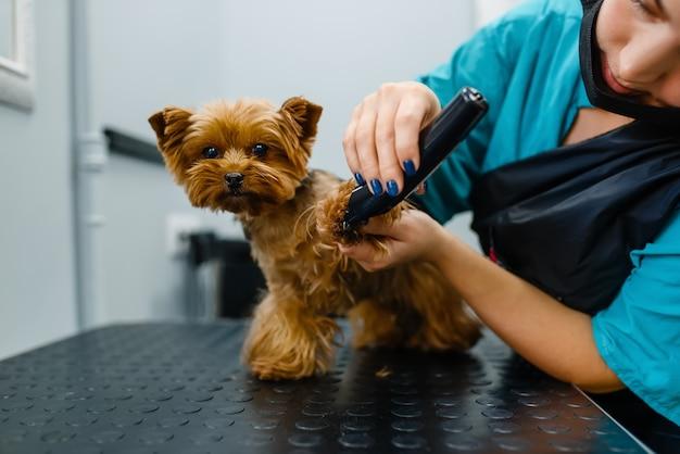 研磨機を持った女性グルーマーは、かわいい犬のグルーミングサロンで働いています。