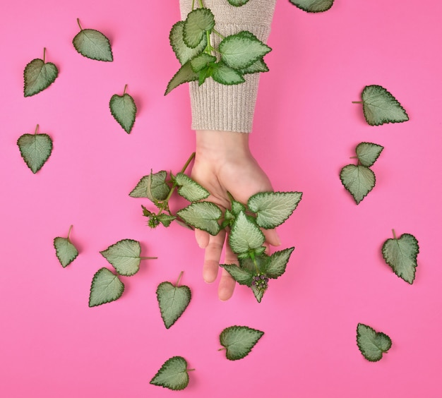 Female hand and fresh green leaves of a plant on a pink background
