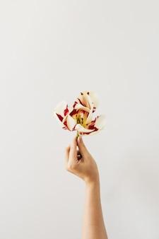 여성의 손을 잡고 화이트 튤립 꽃