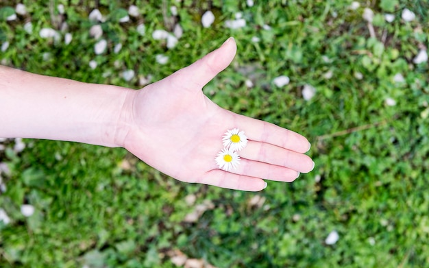 A female hand holding 2 daisies among fingers