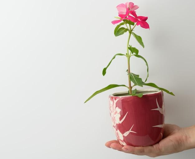 Женская рука держит розовый керамический горшок с растущим цветком на белом фоне, крупным планом