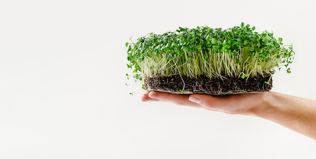 Female hand holding arugula sprouts with potted soil on white wall. copy space