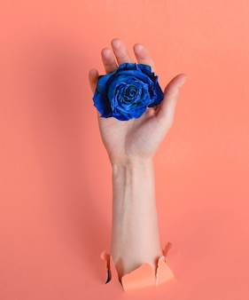 Female hand holding blue dry rose bud through torn pink paper background. minimalistic concept