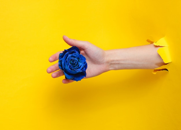Female hand holding blue dry rose bud through torn yellow paper hole. minimalistic concept