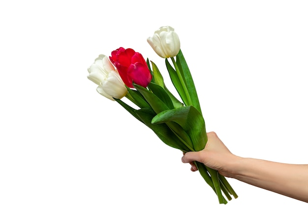 Female hand holding a bouquet of beautiful red and white tulips isolated on a white background
