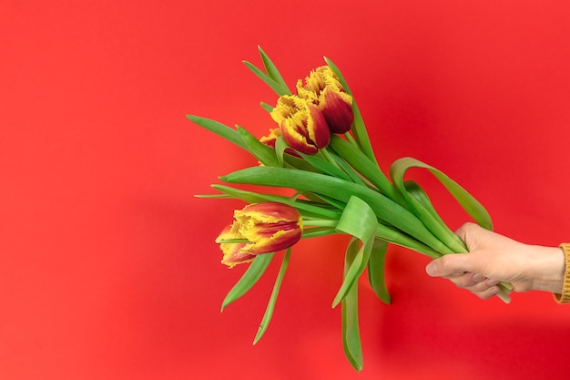 Female hand holding a bouquet of beautiful tulips above a red background with copy space