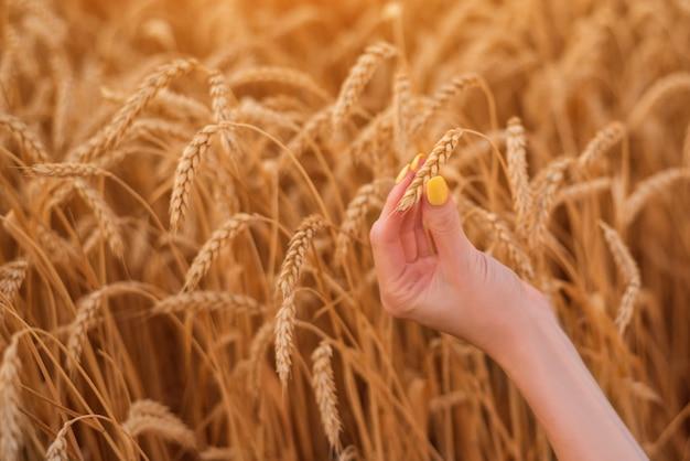熟した小麦の耳を持っている女性の手。豊作。自然で環境にやさしい