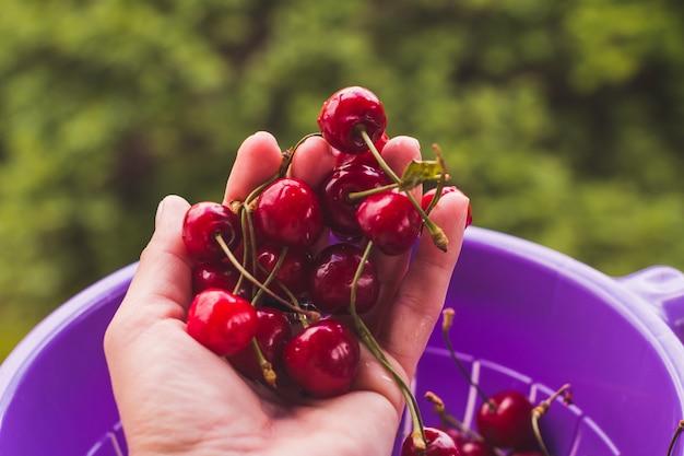 Female hand holding fresh sour cherries. juicy cherries.ripe sweet cherry