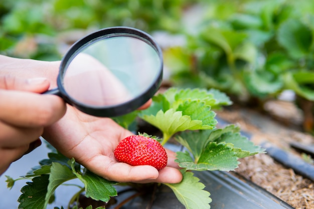 Female hand holding magnifying glass checking strawberry plant in organic farm.