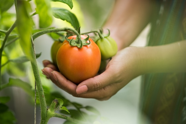 Female hand holding tomato on organic farm