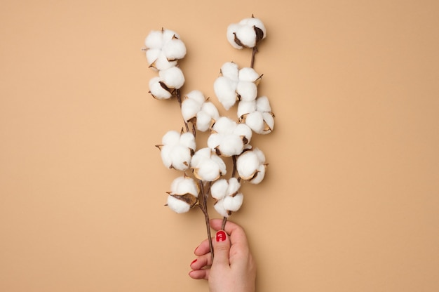 Female hand holding a twig with cotton flowers on a light brown background
