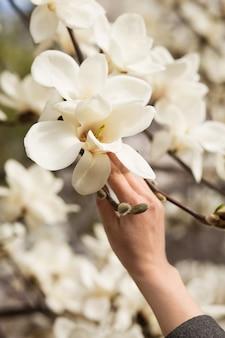 Женская рука держит белое цветущее тюльпанное дерево магнолии
