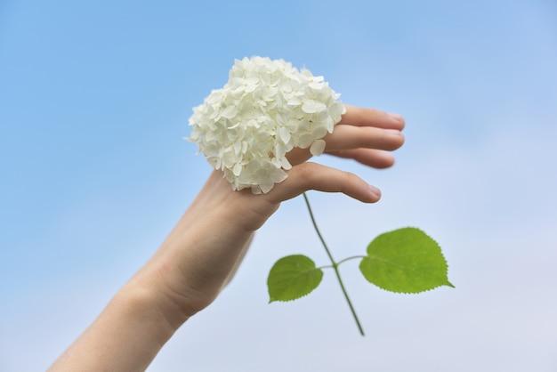 Женская рука держа белый цветок гортензии, небо предпосылки голубое ясное в облаках