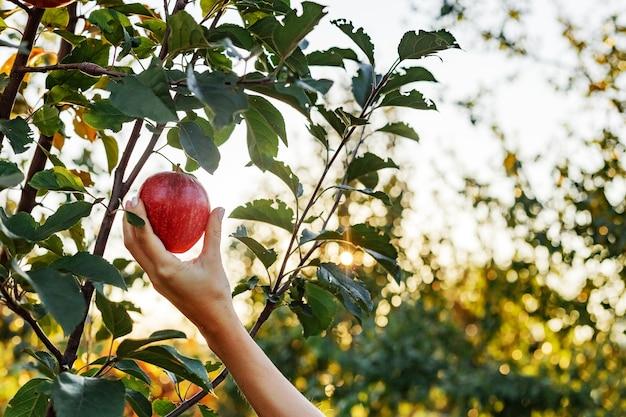 女性の手は果樹園のリンゴの木の枝に美しいおいしい赤いリンゴを持って、食物鉱石のリンゴジュースを収穫します。外の夏の庭でリンゴの収穫。村、素朴なスタイル。